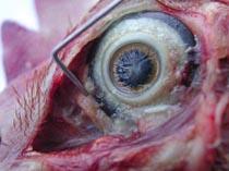ojo gallina